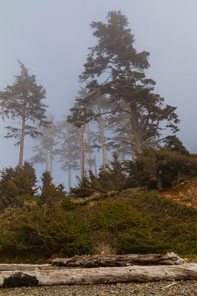 Foggy Ecola Trees