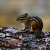 Chipmonk on Birch Log