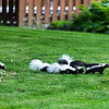 Mother Skunk with Babies