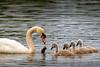 Swans-8900-v2