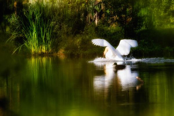 Swans-8442-v2
