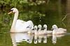 Swans-8681