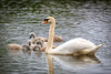 Swans-8849-v2