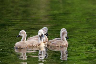 Swans-8564