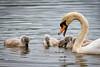 Swans-8829-v2