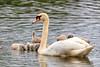 Swans-8845-v2
