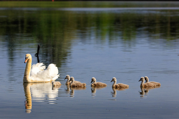 Swans-8528-v2
