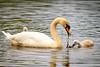 Swans-8897-v2