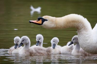 Swans-8969