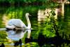 Swans-8460-v2