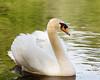 Swans-8501