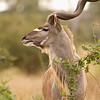 Kudu head shot 8x8 5Julydsc_0040