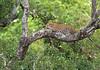 Leopard xx 096b2250