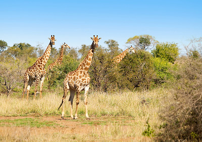 Giraffes in field (A4) 096B3859
