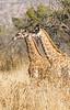 Giraffe _V6Y5705