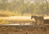 Lion with cubs drinking 4July096b3154