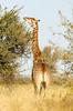 Giraffe C3BW5748