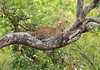 Leopard P A4 096b2218 copy
