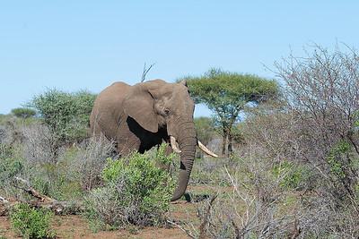 Elephant in field 096B3803