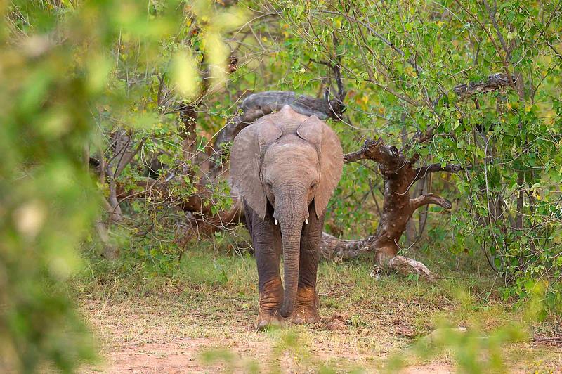 Baby elephant in clearing DSC_0018