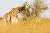 Giraffe _V6Y5375