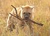 Hyena with stick P 7x5 5Julydsc_0009