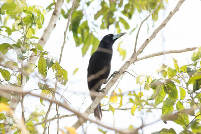 Butcherbird - Black Butcherbird