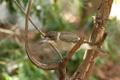 Butcherbird - Grey Butcherbird