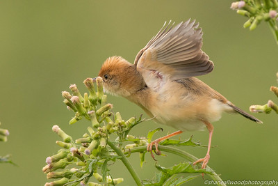 Cisticola - Golden-headed Cisticola