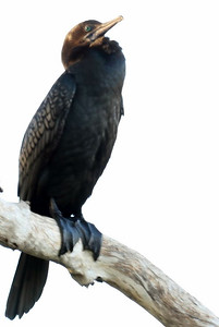 Cormorant - Little Black Cormorant