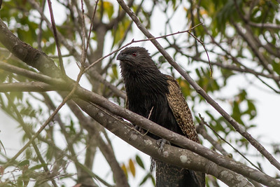 Coucal - Pheasant Coucal