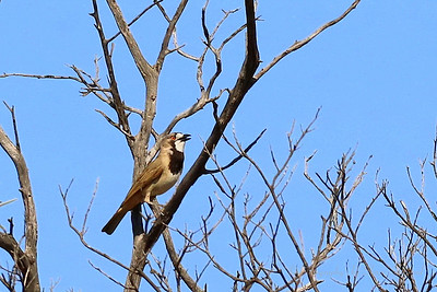 Bellbird - Crested Bellbird