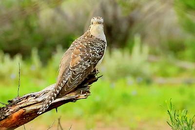 Cuckoo - Pallid Cuckoo