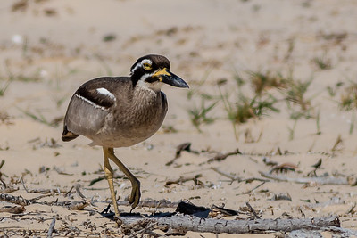 Curlew - Beach Stone-curlew