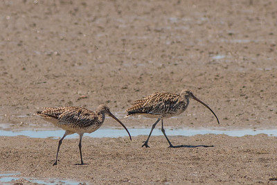 Curlew - Eastern Curlew