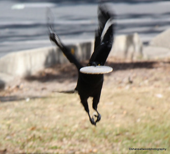 Currawong - Pied Currawong