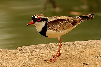 Dotterel - Black-fronted Dotterel