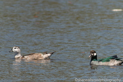 Duck - Green Pygmy Geese