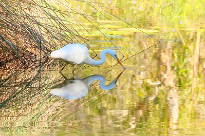 LoveEastern Great Egret