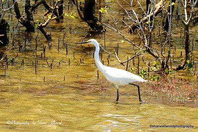 Littel Egret - breading plumage