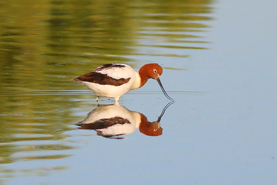 Avocet - Red-necked Avocet