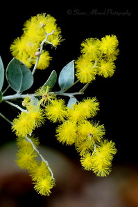 Winter Wattle has started to bloom