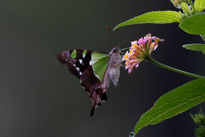 Butterfly - Macleay's Swallowtail
