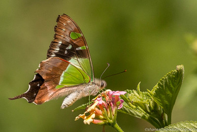 Macleay's Swallowtail Butterfly