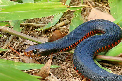 Red Bellied Blake Snake