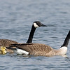Pair of Canadian Geese with goslings