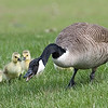 Canadian Goose with goslings