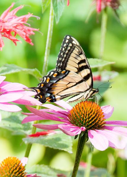 Lu's butterflies