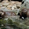 The Otters were getting fed while we were there. They looked super happy with all the fish they got to munch on.