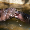 The mum and baby Hippo spending some time together.